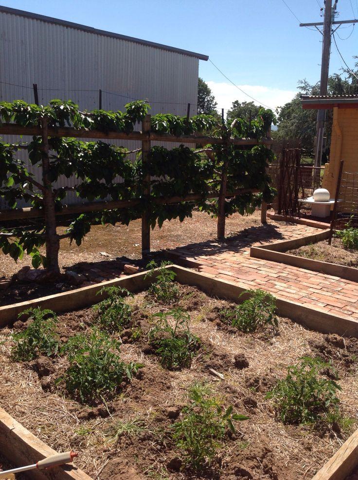Veggie Garden and Black Lapin Cherry Espalier.