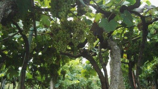 Uvas del huerto