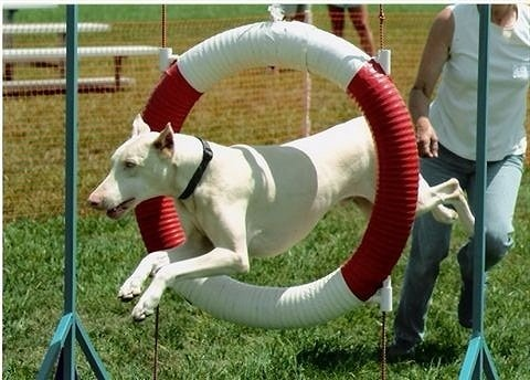 Health Problems in White Doberman Pinschers.Click the picture to read