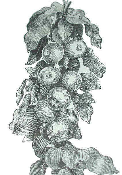 Ms de 25 ideas increbles sobre Dibujos de manzanas en Pinterest