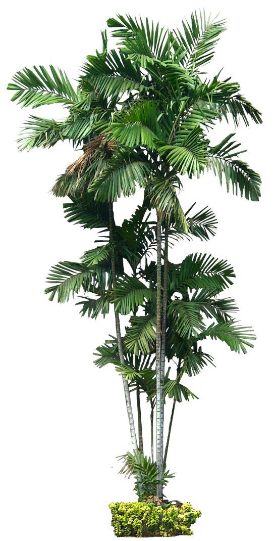Tropical Plant Pictures: Palm | Infografia | Pinterest ...