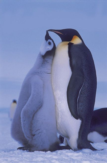 Emperor Penguin and hungry chick