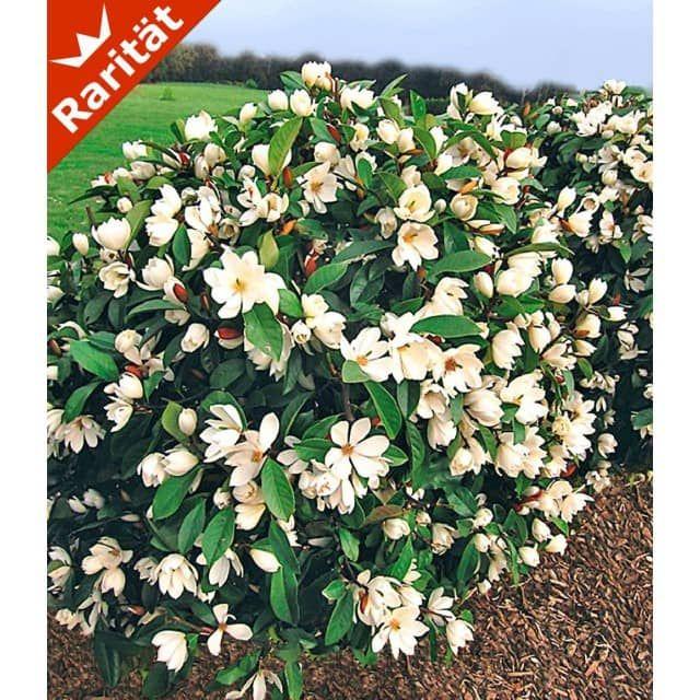Duft-Magnolien-Hecke 'Fairy', 1 Pflanze - BALDUR-Garten GmbH