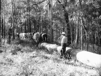 85/1284-252 Glass negative, full plate, 'Snigging a log', Kerry and Co, Sydney, Australia, c. 1884-1917 - Powerhouse Museum Collection