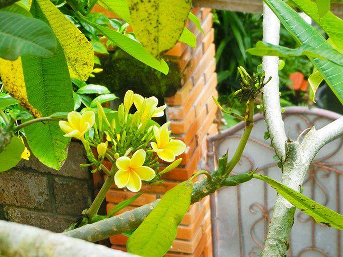 12/22(金)バリ島ウブドのお天気は晴れ。室内温度28.0℃、湿度73%。やっと青空が見えるお天気になりました!花々も嬉しそう♪やっぱり空は青空じゃないとね! #今日も良い日になりますように #バリ #ウブド #イマソラ #青空 #プルメリア