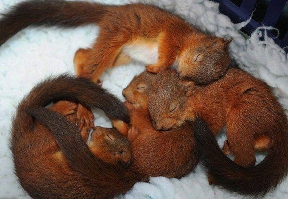 Squirrels NappingAnimal Pictures, Animal Baby, Squirrels Sleep, Baby Squirrels, Squirrels Baby, Red Squirrels, Baby Animal, Adorable, Sleep Baby