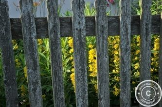 #Cosmos in the #Garden - Behind Wooden Fences - #gardening #flowers #nature