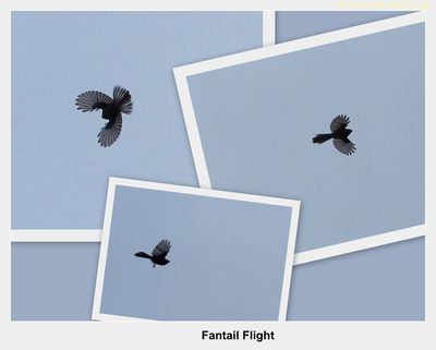 Fantail - CAMERA CLIPS PHOTOGRAPHY