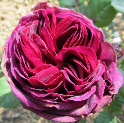 rosier imaginaire parfum gros bouton grosse fleur parfum enivrant j 39 adore n 39 a pas beaucoup. Black Bedroom Furniture Sets. Home Design Ideas