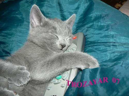 CATS-форум :: Просмотр темы - Русские голубые кошки - 6