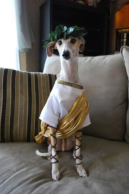 A Dog Wearing A Roman Toga Costume | Costumepedia.com