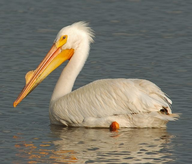 Pelicans Pelecanus Erythrorhynchos: American White Pelican (Pelecanus Erythrorhynchos) Is A
