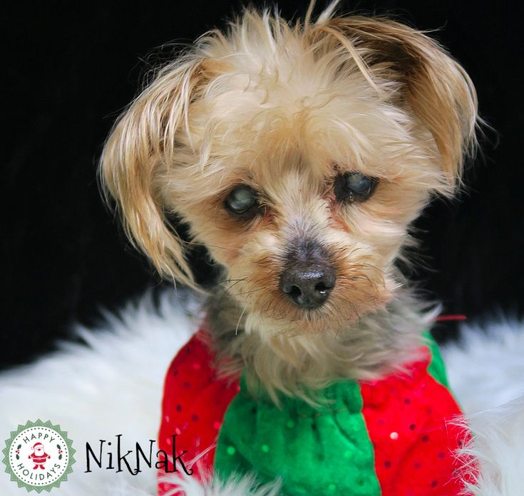 NikNak, the Yorkie. One of our Forever Care retirement program doggies.  Christmas 2017