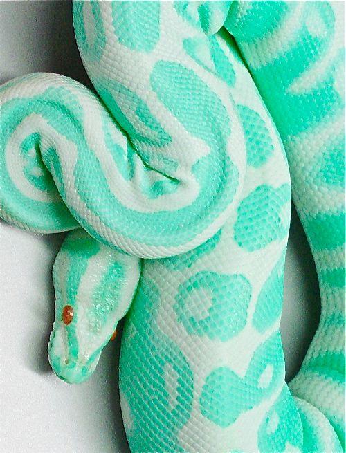 Se reptile bleu que nous appellons plus généralement Biga blyū est un serpent au couleurs flamboyante que l'on trouve dans les parties humide de la forêt . Les hommes le chassent souvents pour sa bonne viande .