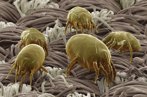ácaros del polvo sobre almohada cualquiera