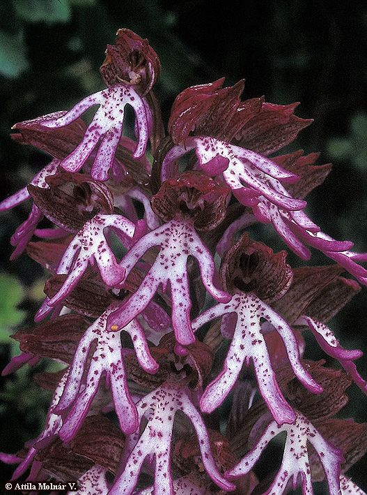 'Orchid-Mimicry': Man-orchid: Orchis x angusticruris