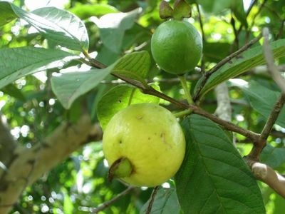 The guava (Psidium guajava) is a small shade tree grown for its delicious, lemon-size fruit. High in vitamins A and C, the summer fruit is cultivated extensively in subtropical and temperate regions of the world.