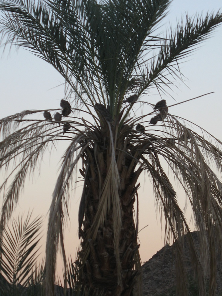 Birds in a palm tree at dusk.
