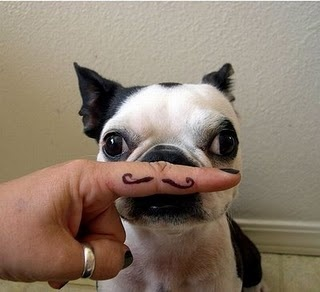 Boston Terrier with Mustache