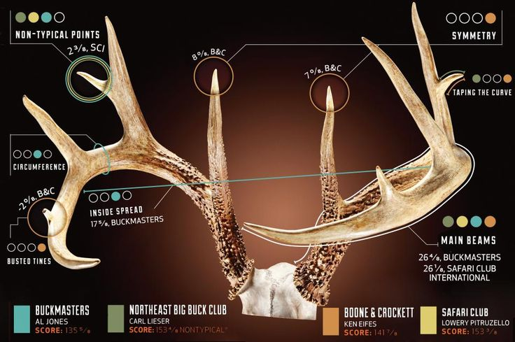 """""""What's he score?""""  That question will be asked countless times this fall as hunters gather around hanging bucks, counting points and guessing spreads. But the answers depend on who you ask. There are many different antler-scoring clubs across the country, and each utilizes its own method. To illustrate some of the main differences (and similarities), we had scorers from four different record-keeping organizations independently measure the same rack. All came up with different final net…"""