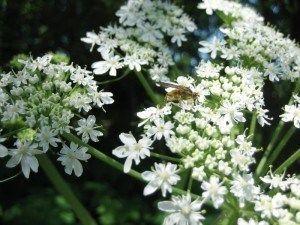 Heracleum lanatum (H. maximum) | Sevenoaks Native Nursery