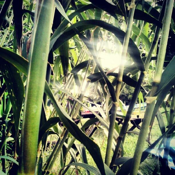 "@tczpeti's photo: ""Kerti bambusz... Imádom! #bamboo #mystyle #instagram """