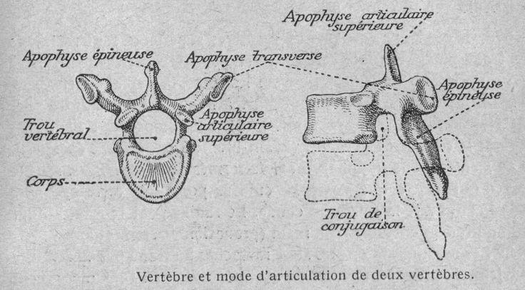 Vintage Dessins anatomie physiologie Image Vertebre humaine et articulation de deux