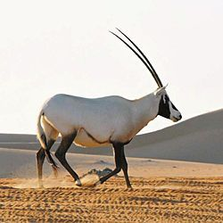Arabian Oryx Sanctuary - Oman - delisted.  The World Heritage Committee deleted the property because of Oman's decision to reduce the size of the protected area by 90%, in contravention of the Operational Guidelines of the Convention. This was seen by the Committee as destroying the outstanding universal value of the site which was inscribed in 1994.