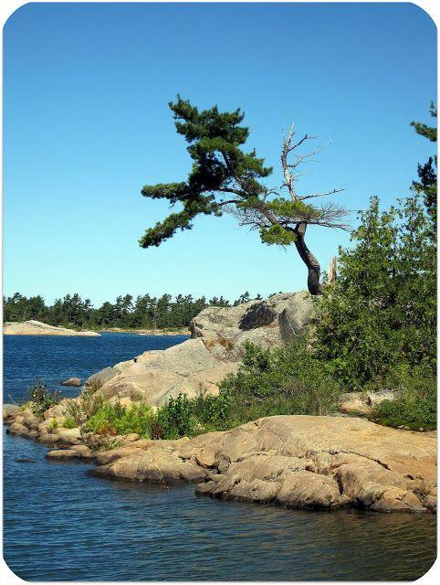 Windswept Pine on Georgian Bay