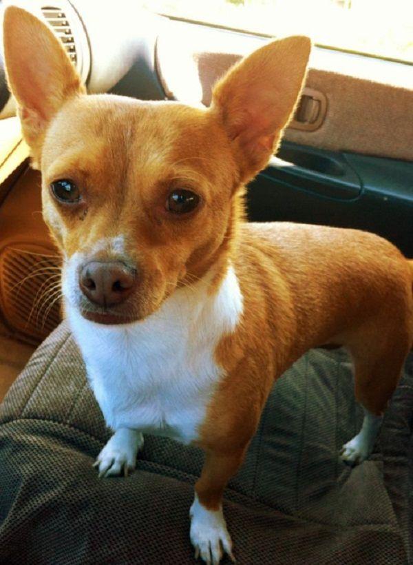 corgi chihuahua mix puppies | Zoe Fans Blog