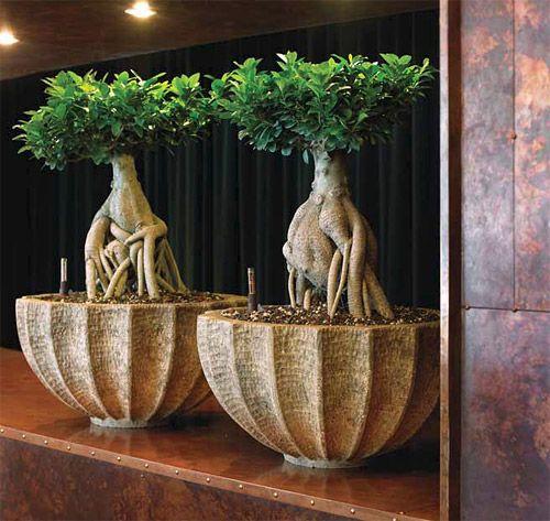 http://www.sklep.hydroponika.pl/Donice/naturalne/2270-Misa_POLYSTONE_ROCK_BOWL.html Ficus Ging Seng