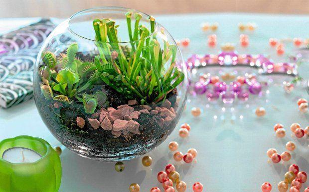 die besten 25 venusfliegenfalle ideen auf pinterest flora fleischfressende pflanzen und haus. Black Bedroom Furniture Sets. Home Design Ideas