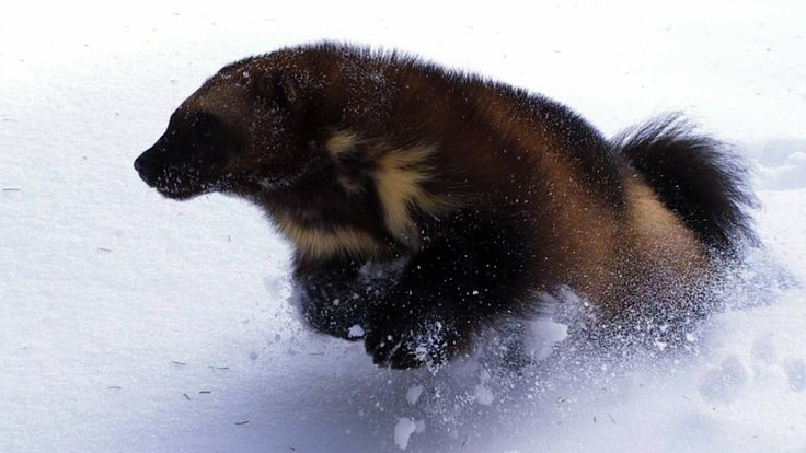 Wolverine: Chasing the Phantom | Wolverine Facts | Nature | PBS