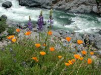 California Poppies at South Yuba State Park...