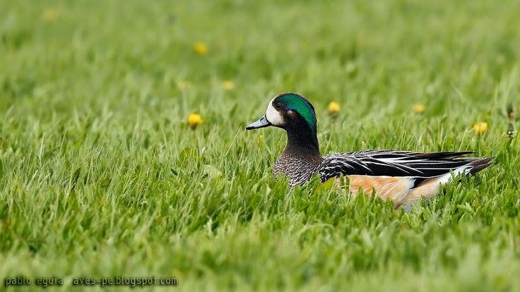 mis fotos de aves: Pato overo [Anas sibilatrix] Chiloe wigeon