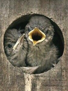 Baby birds in a birdhouse