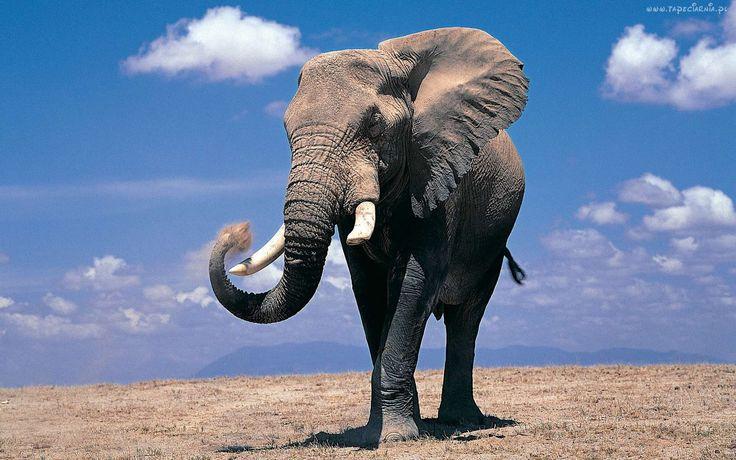 Słoń, Kły