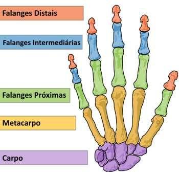 Osso dos dedos da mão