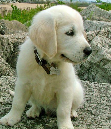 Little golden: Pet, Puppy, Box, Golden Retriever
