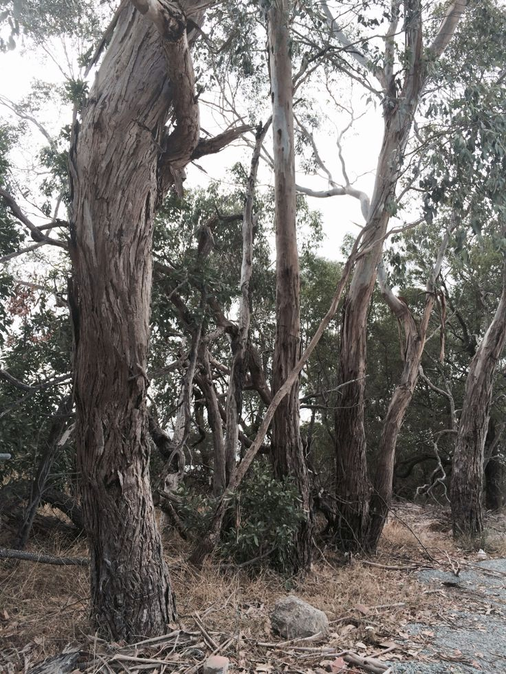 Gum Trees at the wild life park