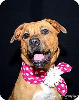 Garden City, MI - German Shepherd Dog/Husky Mix. Meet Rose, a dog for adoption. http://www.adoptapet.com/pet/11162906-garden-city-michigan-german-shepherd-dog-mix