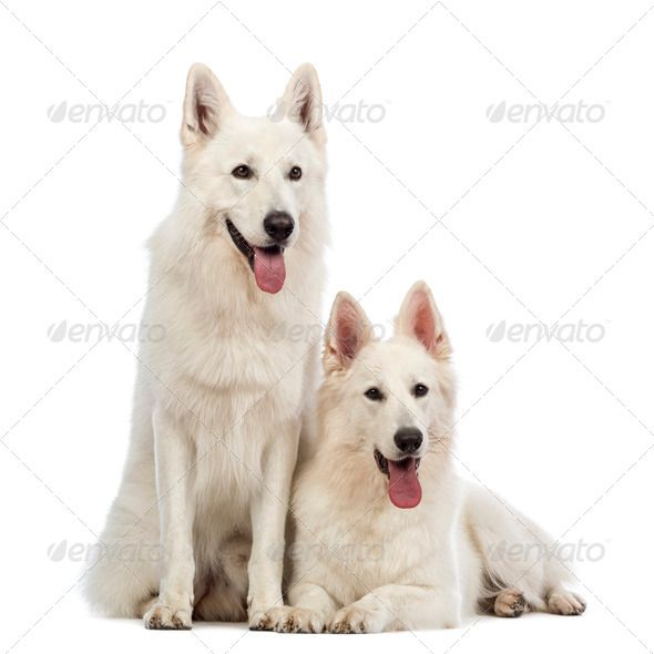 Two Swiss Shepherd Dogs 5 Years Old Panting Lying And Sitting In Front Of White Background Shepherd Dog Dogs 5 Year Olds