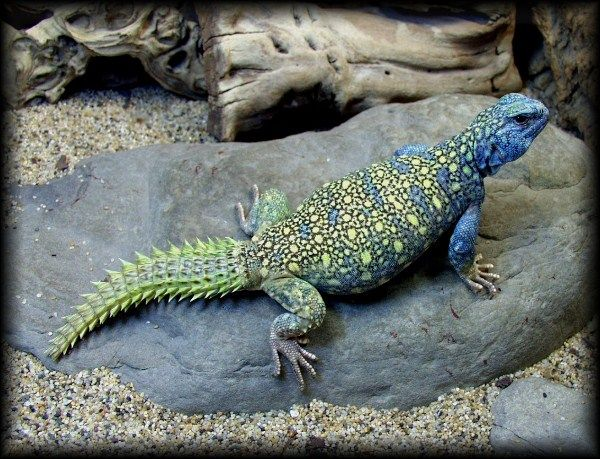 38 best images about uromastyx on Pinterest | Zoos ...