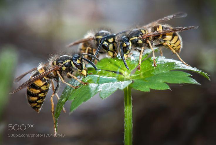 Gemeine Wespe (Vespula vulgaris) II by Nikkorwolf. @go4fotos