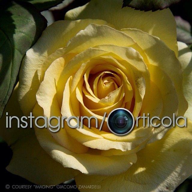 #italian #rose