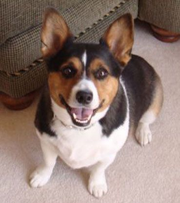 Jack Russell Corgi Mix....This is exactly what my Boscoe looks like, but he doesn't like taking pictures anymore...haha...He's wild !