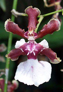 Sharry Baby Oncidium Orchid Plant - Extremely Fragrant