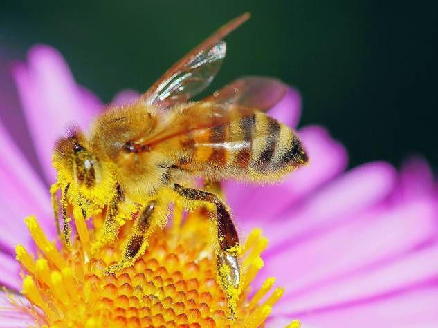 Biene sammelt Pollen auf Blüte.Die fleißigen Bienen sammeln die Pollen und dienen gleichzeitig als Bestäuber der Blütenpflanzen.
