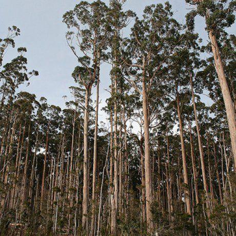 eucalyptus obliqua - Google Search