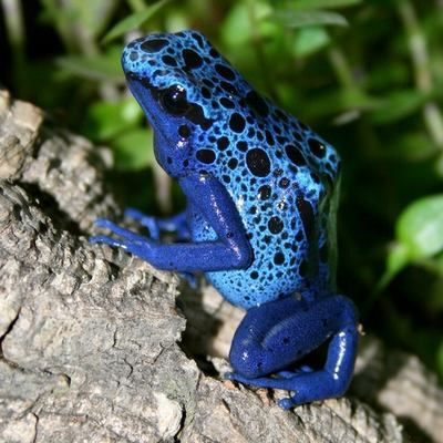 """""""A Bevy of Blue"""" - a blog post featuring a collection of images of blue things.  Second in the Color Wheel series.: Blue Frogs, Anfibio, Color Wheels, Colors Wheels, Blue Things"""